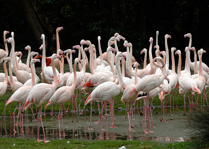 Widenhorn adopteert flamingo's in Diergaarde Blijdorp